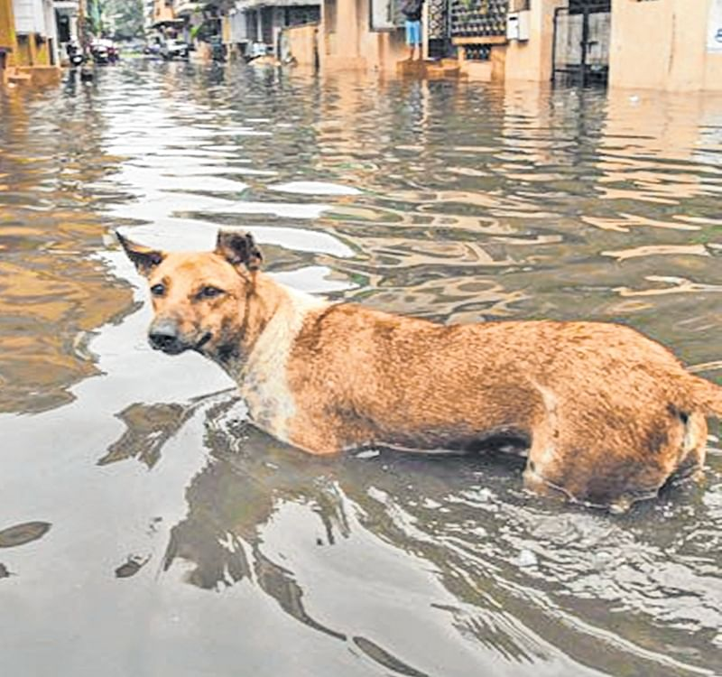 Maharashtra: Villagers save 300 animals in Hasur