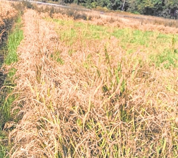 FPJ Impact: Panchnamas of rain-hit crops begin in Uttan