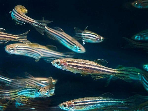 Like zebrafish, salamanders; humans too can repair joints