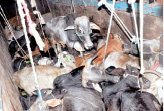 Bhopal: Not more than 100 killings per day at abattoir, BMC tells NGT