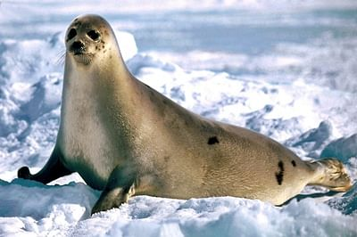 Seals use 'voice recognition' to identify rivals