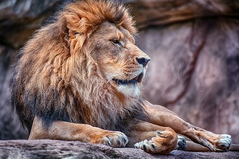 Lions are introverts, and knowing that could save your life