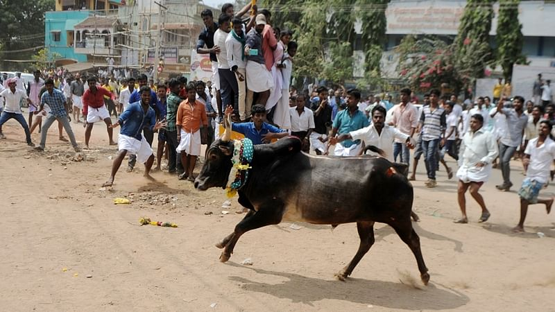 A bull charges through a crow of Indian participants and bystanders during Jallikattu, an annual bull fighting ritual, on the outskirts of Madurai on January 15, 2017. / AFP PHOTO / ARUN SANKAR