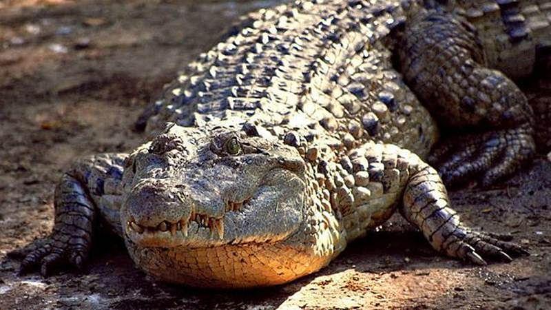 10-foot Crocodile on rooftop in flood-hit Karnataka