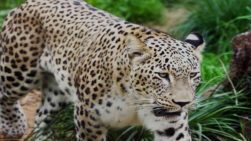 Maharashtra: Leopard dies of hunger after getting ensnared