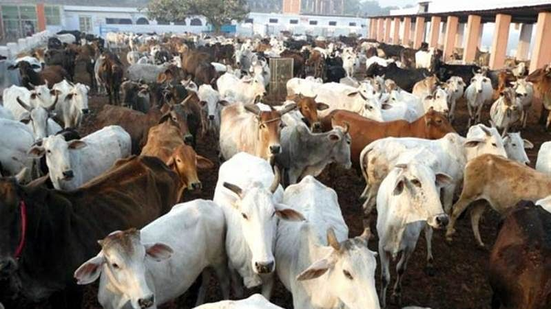 Another Meghalaya BJP leader resigns over cattle slaughter ban