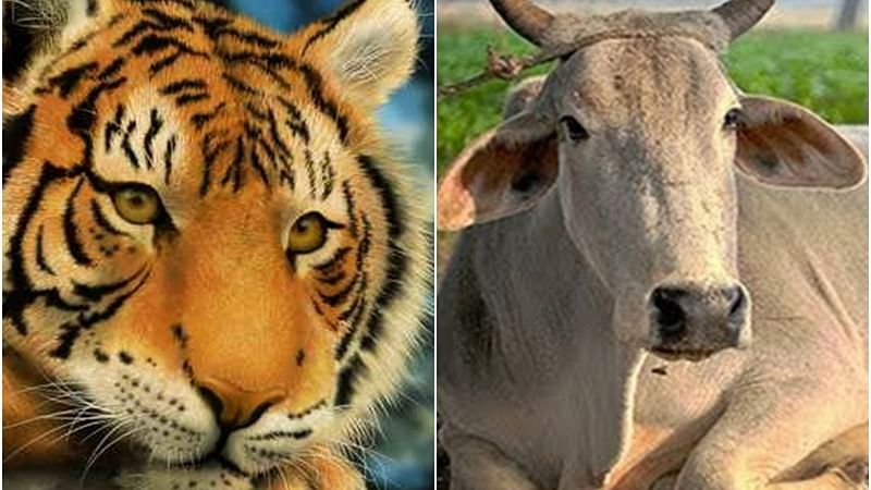 After the battle of cattle, is it the time for Bengal tiger to retire?