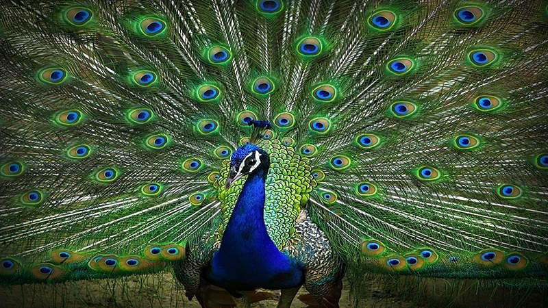 Peacocks are Brahmachari, they don't have sex: Rajasthan High Court judge