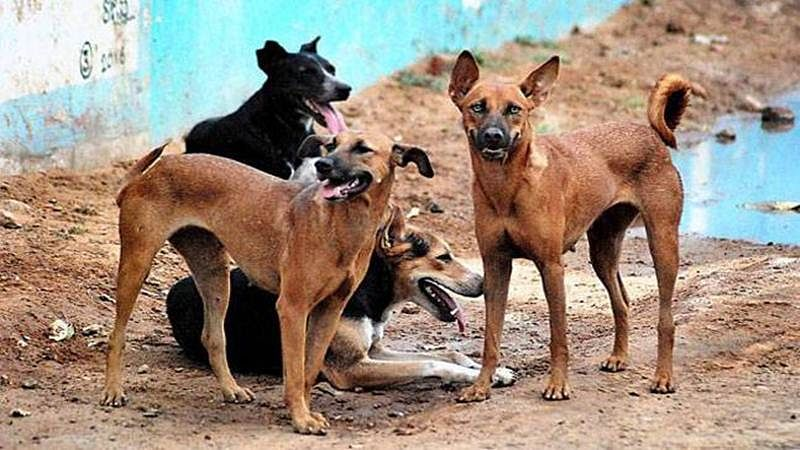 90 dogs found dead with muzzles and legs tied with strings in Maharashtra's Buldhana