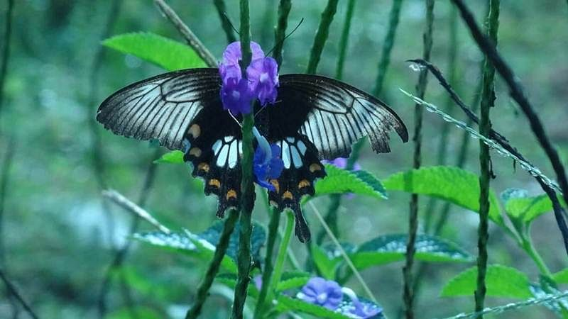 A species of butterfly