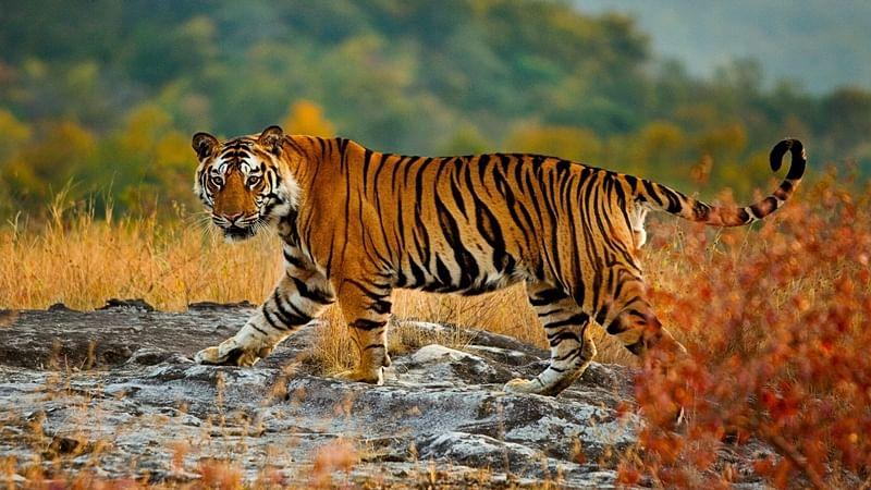 Maharashtra: Tiger kills woman in Tadoba reserve