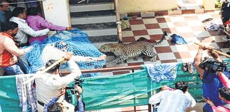 Indore: Tranquilised leopard leaves SDO with 10 stitches