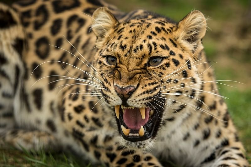 Bhopal: Viral video triggers panic as leopard spotted in Shahpura, Trilanga area