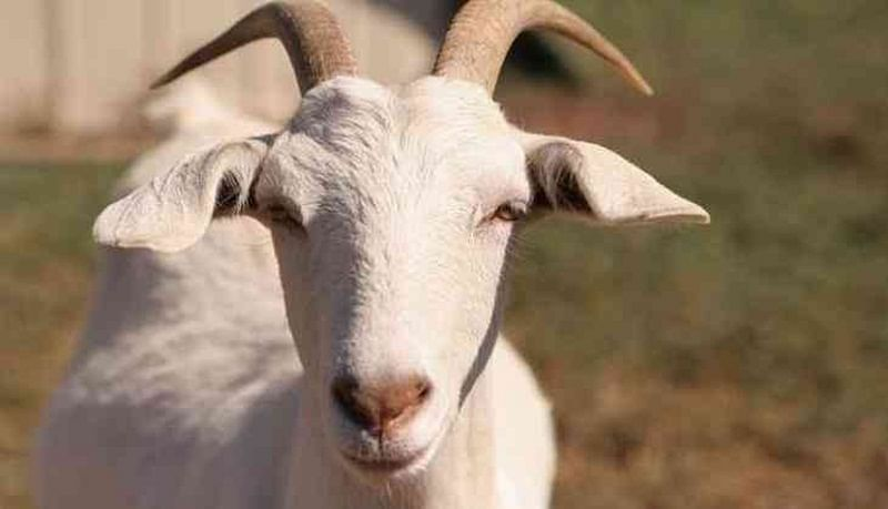 Goats sell for as high as Rs 1 lakh in Bhayandar
