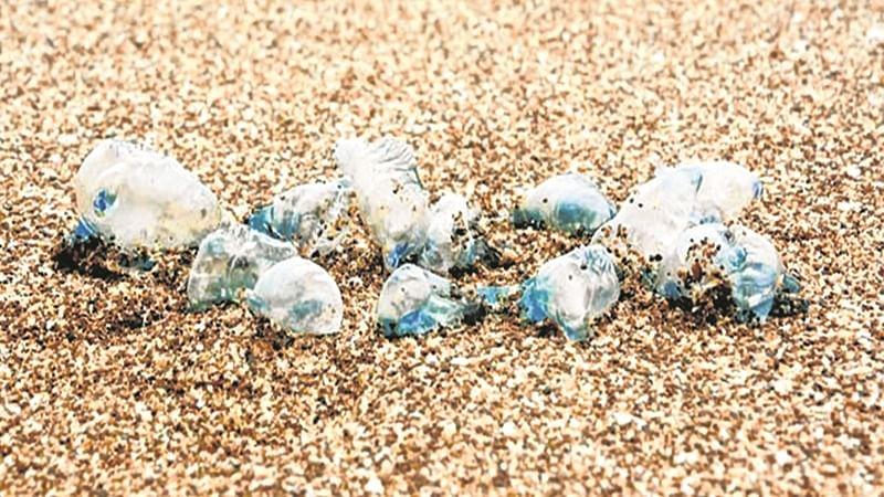 Beware! Toxic jellyfish spotted at Mumbai beaches