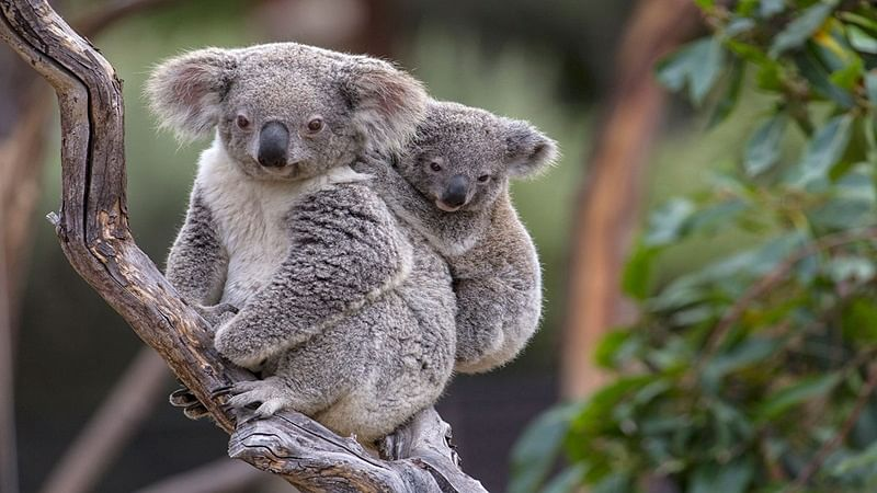 Koala population in Australia faces extinction by 2050: World Wide Fund