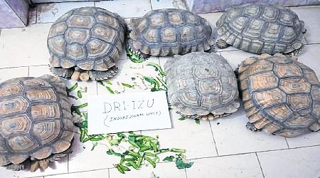 Indore: Smuggling of African tortoise, DRI arrests two from Kolkata