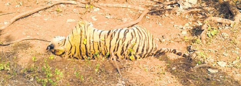Tiger killing: Five booked, black magic angle suspected