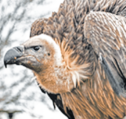 Bhopal: Day-long vulture census conducted